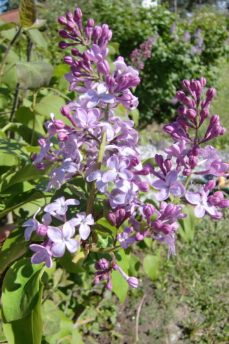 Nu blommar syrénerna. Så vackra och doftar underbart.