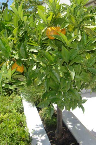 Vi har ett eget apelsinträd på terassen.