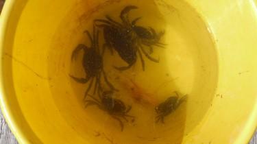 Några av krabborna som sedan fick tävla tillbaka ner i vattnet igen.