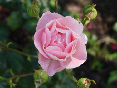 Mamma älskar sin trädgård och har vackra rosor överallt. Har inte ärvt den ådran tyvärr.