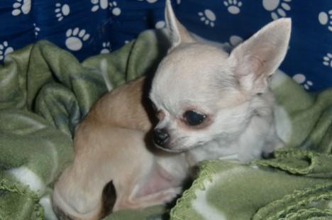 Lilla kämpen Bimbo som fyller elva år i maj. Hon ska få fler födelsedagar.
