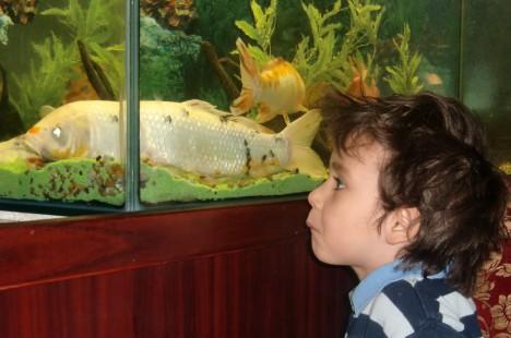 Mio som älskar sushi tittade lite väl storögt på den stackars karpen i akvariet.