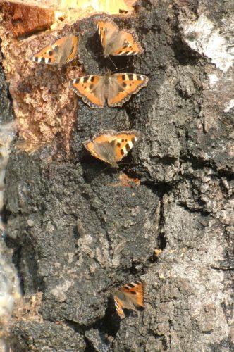 Vackra fjärilar satt på en stubbe i trädgården.
