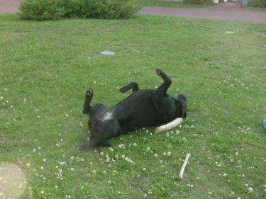 Dina rullar runt i gräset. Mio har inte känt av sin allergi alls den här gången. Skönt!