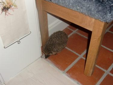 En liten förvirrad igelkott tog sig in i huset hos Marianne. Fick mota ut den med en fiskehov. Synd på taggarna och lössen annars hade jag gosat med den.