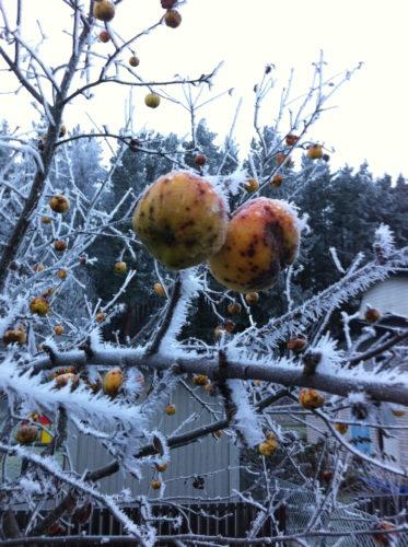 Idag har det varit riktigt kallt ute. Träden var täckta av frost. Visst är det vackert?