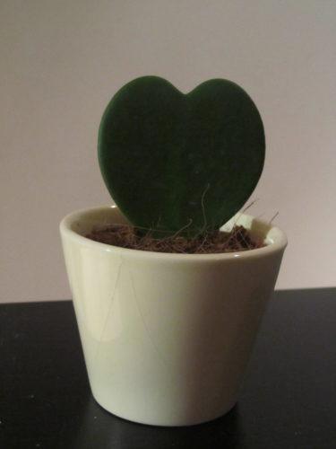 """Köpte även denna söta mini-kaktus. """"Lucky Heart"""" heter den."""