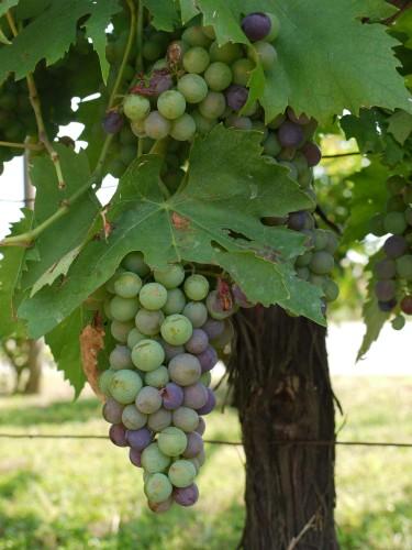 Vinrankor, vingårdar och goda viner.