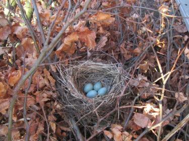 Idag hittade pojkarna ett vackert fågelbo. Tror att det är koltrasten som byggt det och lagt sina ägg. Tyvärr är det byggt väldigt lågt och öppet i en buske så jag är så rädd att grannkatten ska komma och äta upp dem.