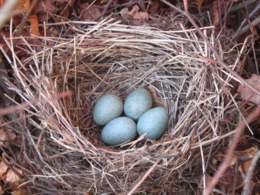 För att försäkra mig om att de blåa fina äggen inte var övergivna smög jag tillbaka dit ett par timmar efter att vi hittat det och då låg fågelmamman där och vakade. Skönt!