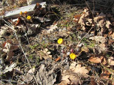 Äntligen lyser dessa små gula tussilagos upp den bruna marken.