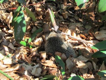 En liten igelkott kröp runt bland löven.