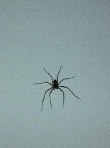 Det här lilla äcklet satt ovanför mitt huvud. Avskyr spindlar men är för vidskeplig för att spola ner den i toaletten än mindre vågar jag ta i den och släppa ut den. Så den kryper runt och lägger äckliga ägg någon annanstans i huset. Huvva! Minns du filmen Imse Vimse spindel. Den gav mig spindelfobi, likt filmen Hajen fick mig att knappt våga bada :-)