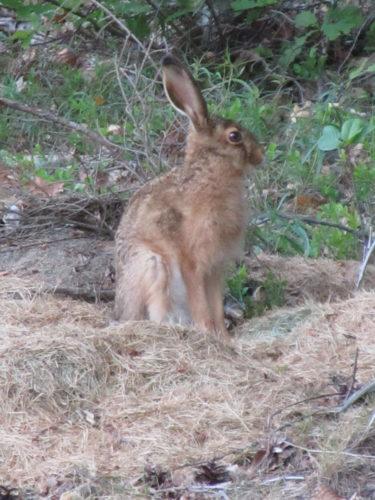 Precis intill vårt hus satt en liten hare och kikade.