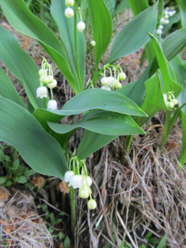 Hittade ett helt fält fullt av min afvoritblomma liljekonvalj. den är så vacker men giftig. De söta små klockformade blommorna och dess doft inger bara oskuldsfullhet tycker jag.