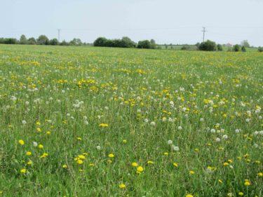 Jag hittade inte bara liljekonvaljer utan också en vacker vy och ett fält med maskrosor.
