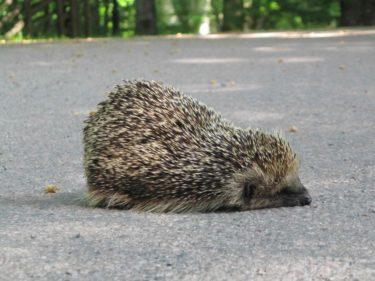 Efter en stund reste den sig och började sakta gå över vägen. Den gick på skakiga, skraltiga ben, som en gammal gammal gubbe, och lade sig helt plötsligt ner.