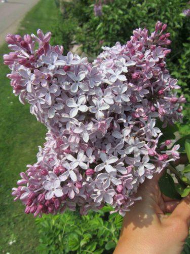 Syrén är också en underbar. Tyvärr hinner man knappt njuta av den. Den blommar så kort.