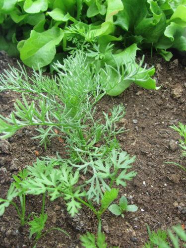 Vårt lilla grönsaksland börjar ta sig. Vi drog upp en morot men det var bara en tunn rot. Börjar tro att det är ogräs som jag sköter om. Fick rensa bort halva landet då min mamma upplyste mig om att det jag trodde var någon sorts sallad var ogräs :-) Jag är verkligen en mupp.