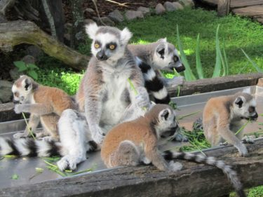 Lemurena var orädda satt och åt och gick runt precis vid våra fötter.