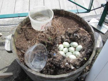 När hon vankade iväg passade jag på att ta en bild på hennes dyrbara ägg som låg på en bädd av dun.
