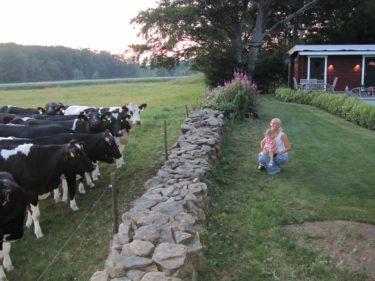 Tycker att det är så roligt att kossorna står precis vid muren till trädgården. Det gäller att inte nakenbada för poolen är precis där.