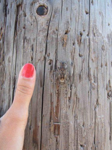 Överaalt här på Kreta är det ett öronbedövade surr från dessa vidriga fän. Stora som min tumme och min tumme den är lång den. Usch! Det här måste vara en landsplåga.