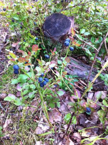 Imorgon tänkte jag plocka med mig mycket blåbär och ge mig på att baka Leilas blåbärsbullar.