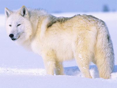Polarvargen, Artic wolf och Valle har sina likheter. Eller hur?